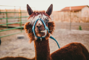 Alpaki–oryginalny pomysł na biznes